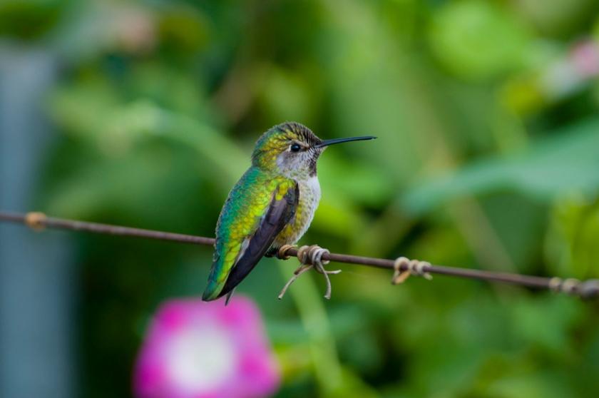 0618 humming bird madera digital image 350dpi 5000x5000px